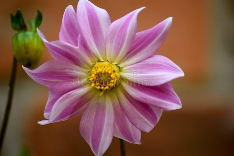 Pink Dahlia stock photo