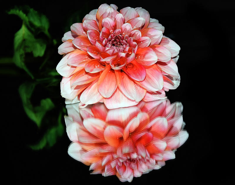 Pink dahlia. Close up in the sunshine royalty free stock photography