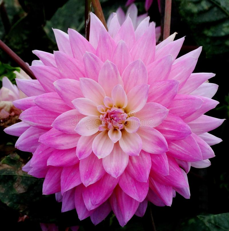 Pink dahlia on a dark background stock image
