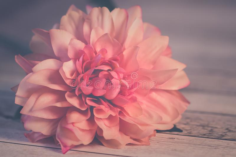 Pink Dahlia Flower in Bloom stock photos