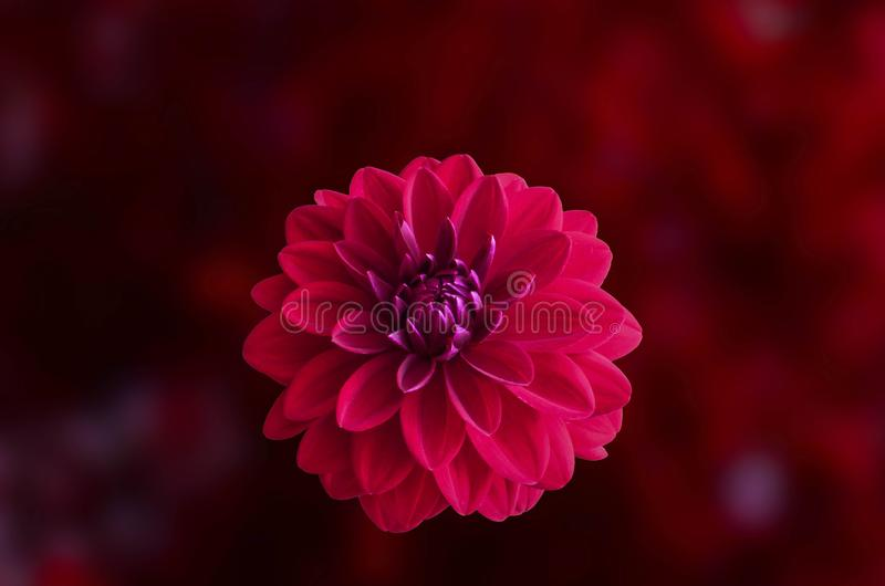 Pink Dahlia Flower in Bloom Close-up Photo stock image
