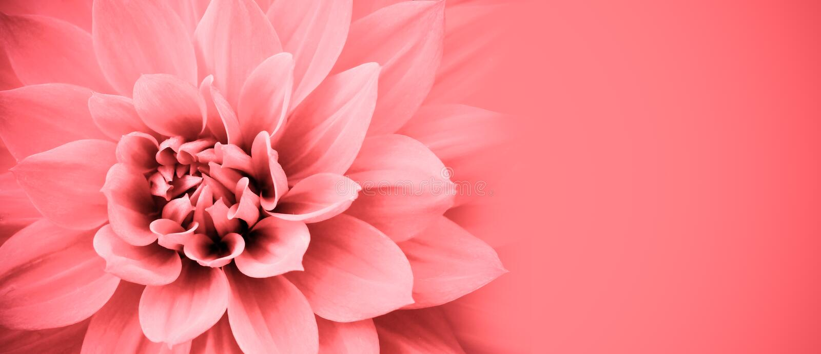Pink dahlia flower details macro photo border frame with wide banner background for message. Wedding background. Pink dahlia flower details macro photo border stock photography