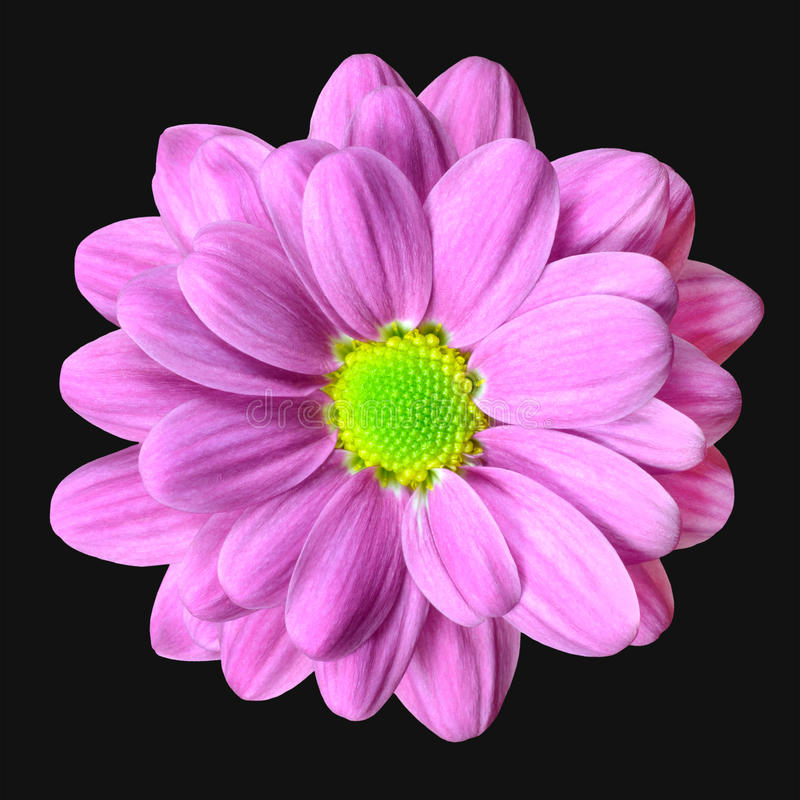 Pink Dahlia Flower with Lime Green Center royalty free stock image