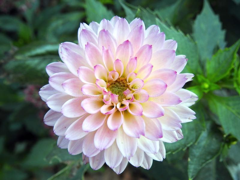 Pink dahlia flower, Lithuania royalty free stock photo