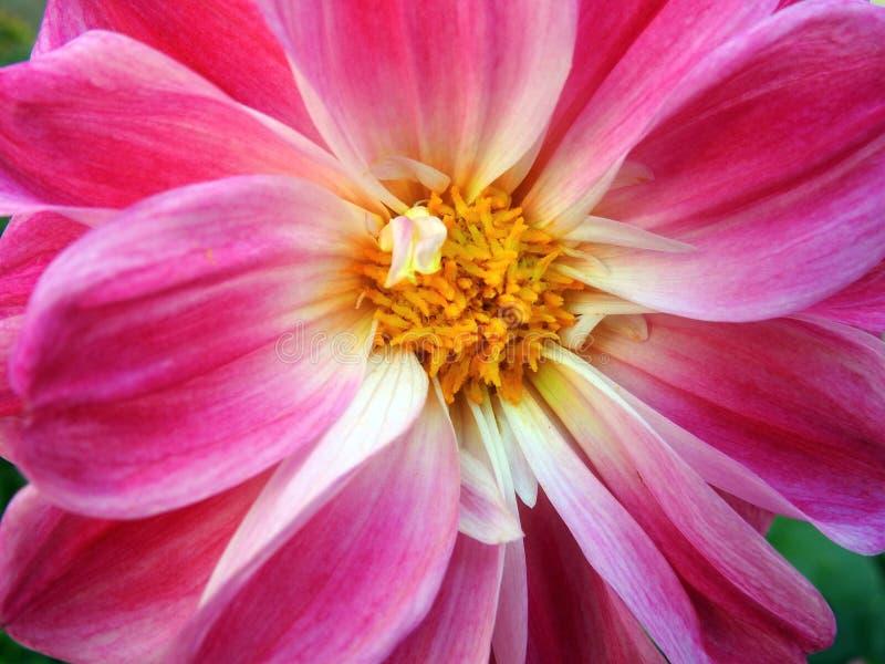Pink dahlia flower, Lithuania stock photos