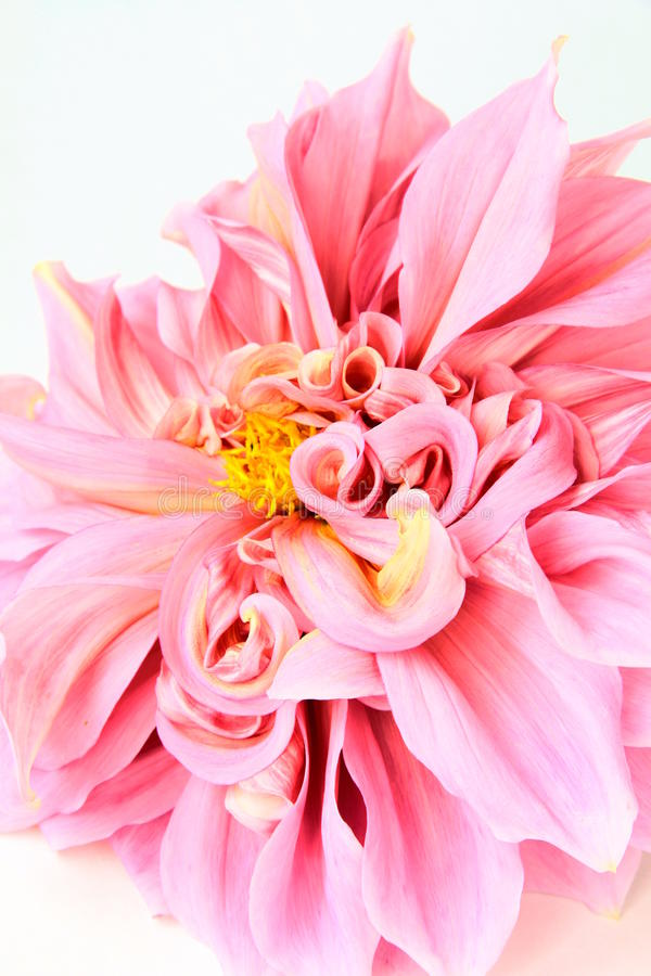 Download Pink Dahlia Flower  On White Stock Photo - Image: 20989888