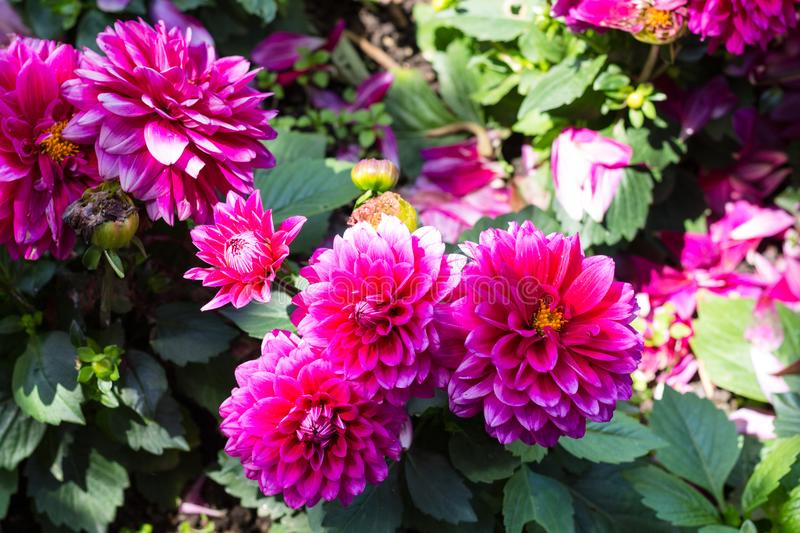 Pink dahlia flowers on green bush in garden. Travel to Turkey - pink dahlia flowers on green bush in garden in Istanbul city in spring stock images