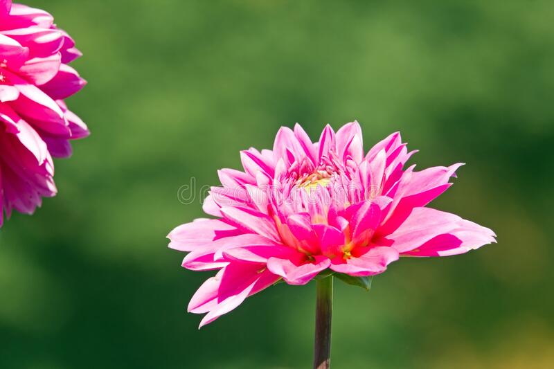 Pink dahlia in full bloom. royalty free stock photo