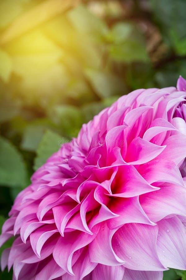 Pink dahlia in garden stock photography