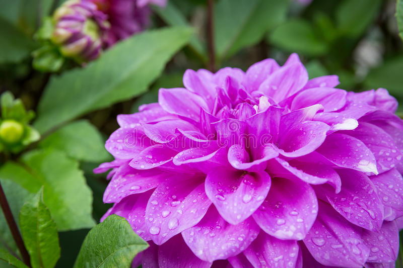 Pink dahlia in garden royalty free stock photography
