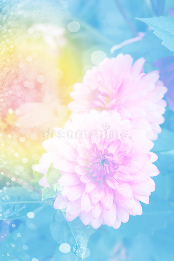 Pink dahlia in garden stock image