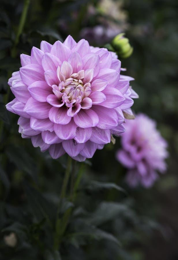 Pink Dahlia in a Garden royalty free stock photos