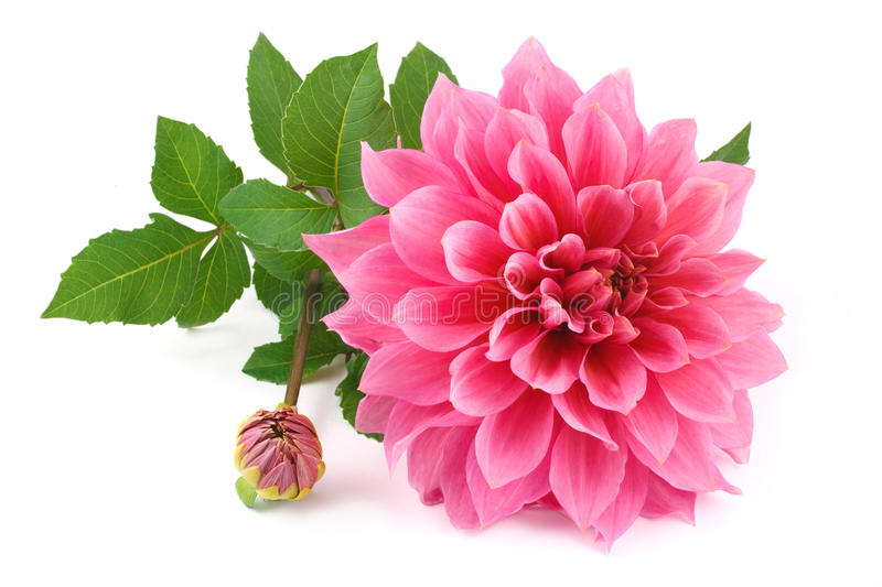 Pink dahlia isolated royalty free stock images