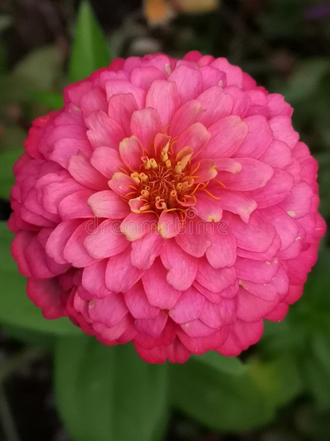 Pink Dahlia stock afbeelding