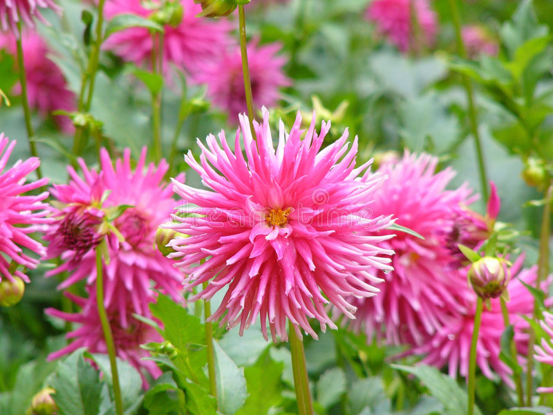 Pink Dahlias Royalty Free Stock Photo