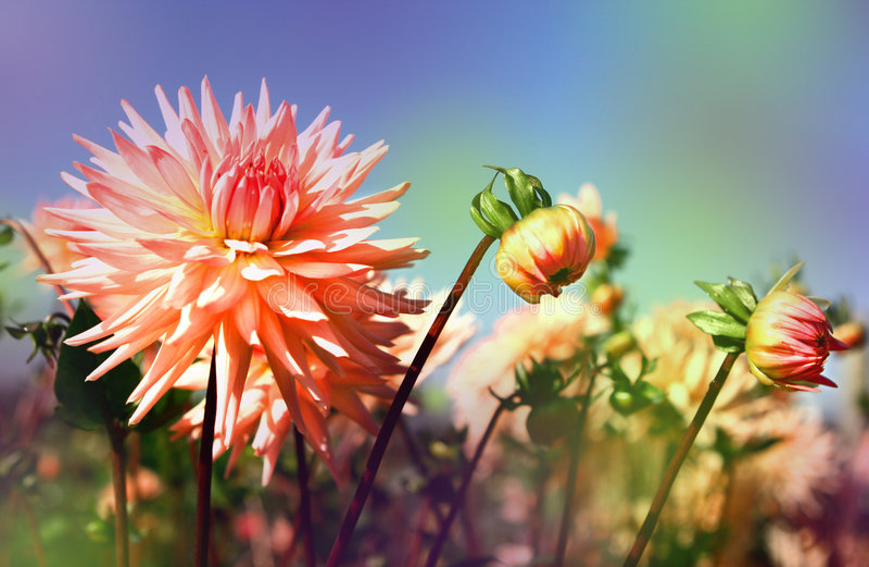 Pink dahlias background stock photo
