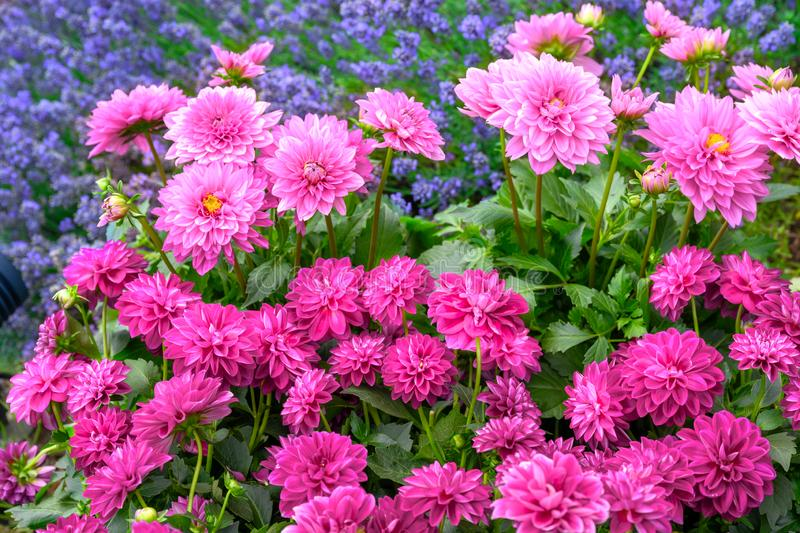 Pink dahlias and blue lavender in summer garden. Summer season with lots of flowering blooms in bright and intense pink.  stock photo