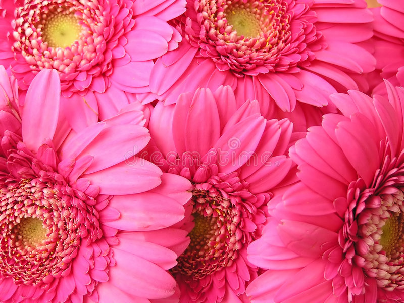 Pink daisies royalty free stock photography