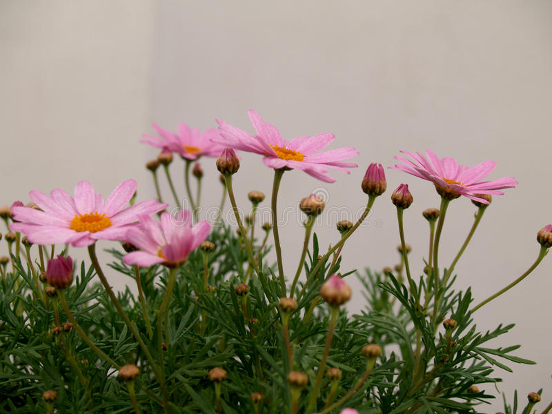 Pink daisies on white. Pink daisies on natural environment stock image