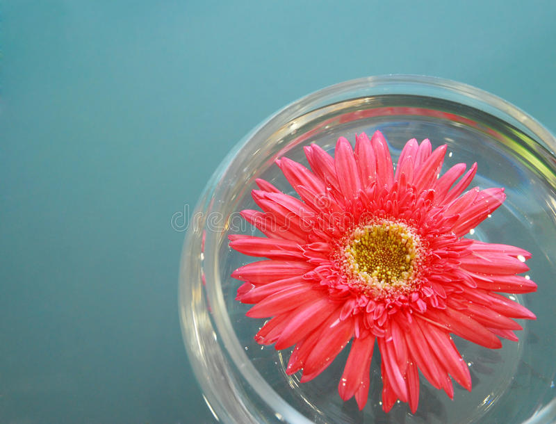 Download Pink daisy stock image. Image of summer, nature, petal - 24981861