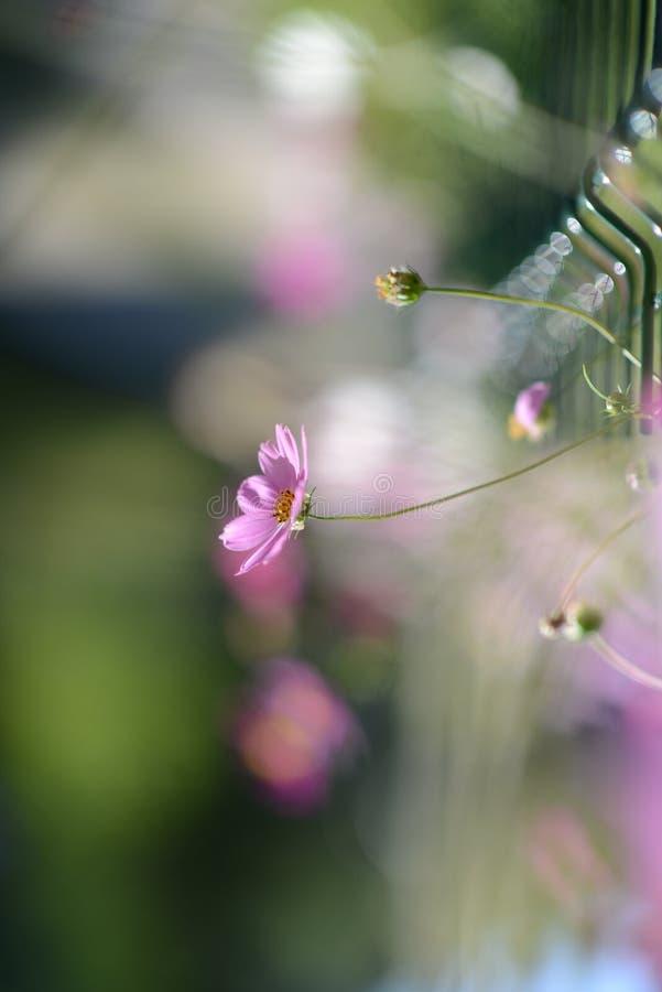 Free Pink Daisy Royalty Free Stock Photo - 60061785