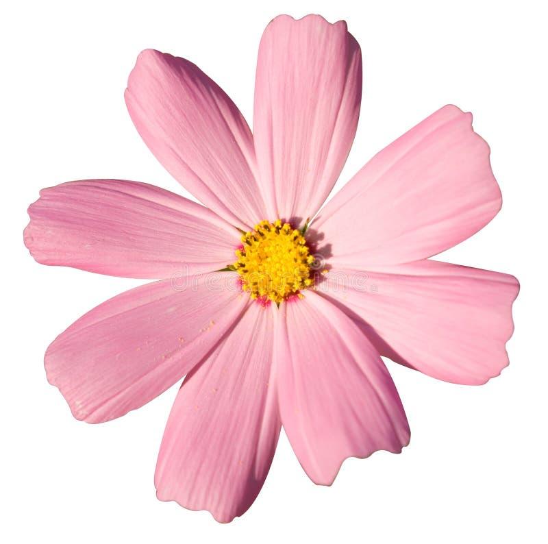 Free Pink Daisy Royalty Free Stock Photo - 6128545