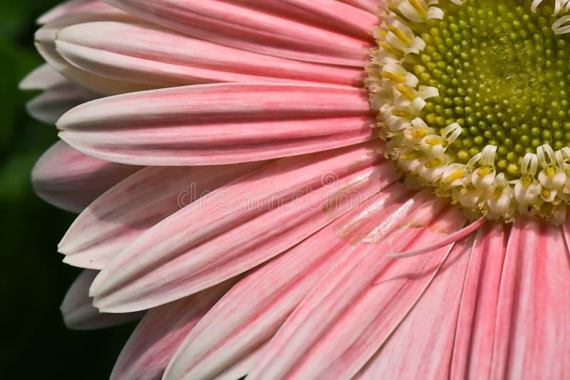 Pink Daisy. Macro on green background royalty free stock photos
