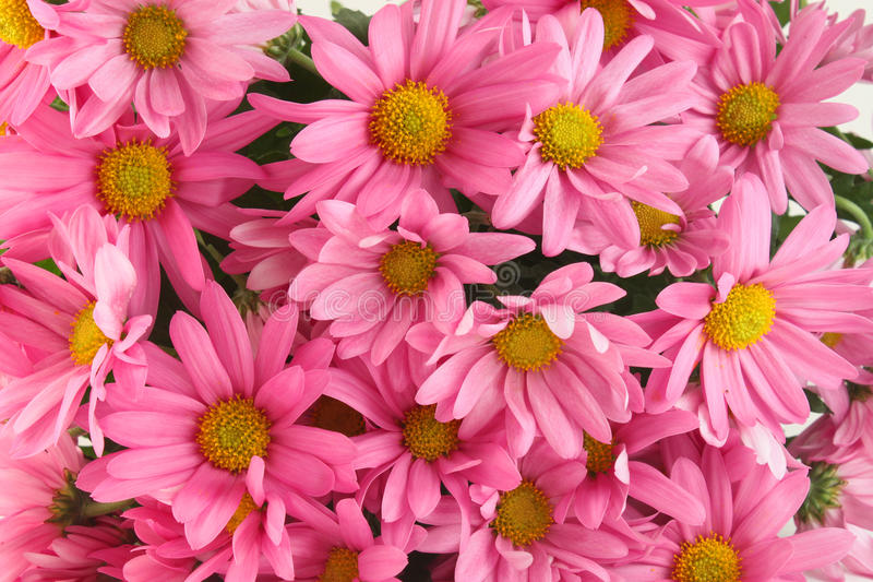 Pink Daisy Background Stock Image