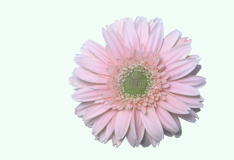 Download Pink daisy flower stock photo. Image of blooming, closeup - 1074614