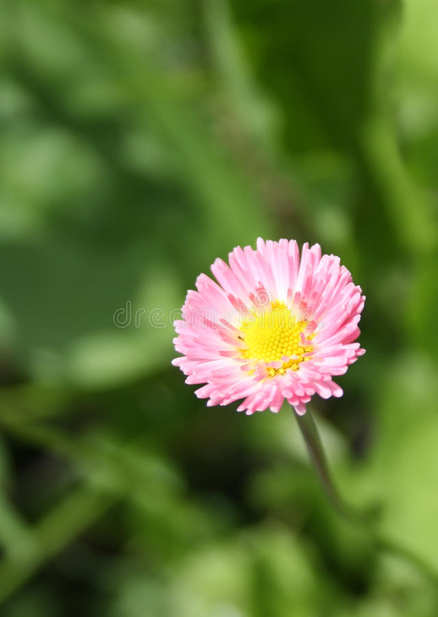 Free Pink Daisy Flower Royalty Free Stock Photo - 9801355