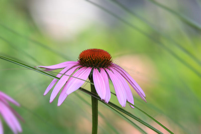 Pink Daisy flower. Daisy flower close up shot royalty free stock photos