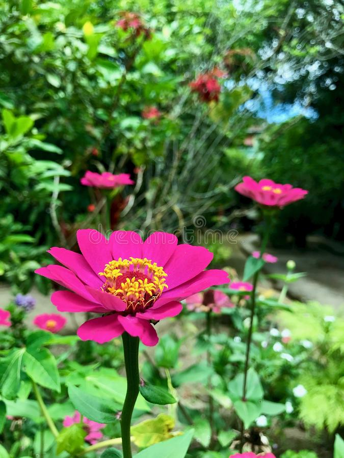 Pink Daisy flower in the garden. Focus on the closest one stock image