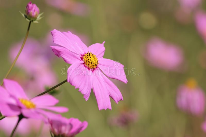 Pink Daisy Flower Selective Photography royalty free stock photos
