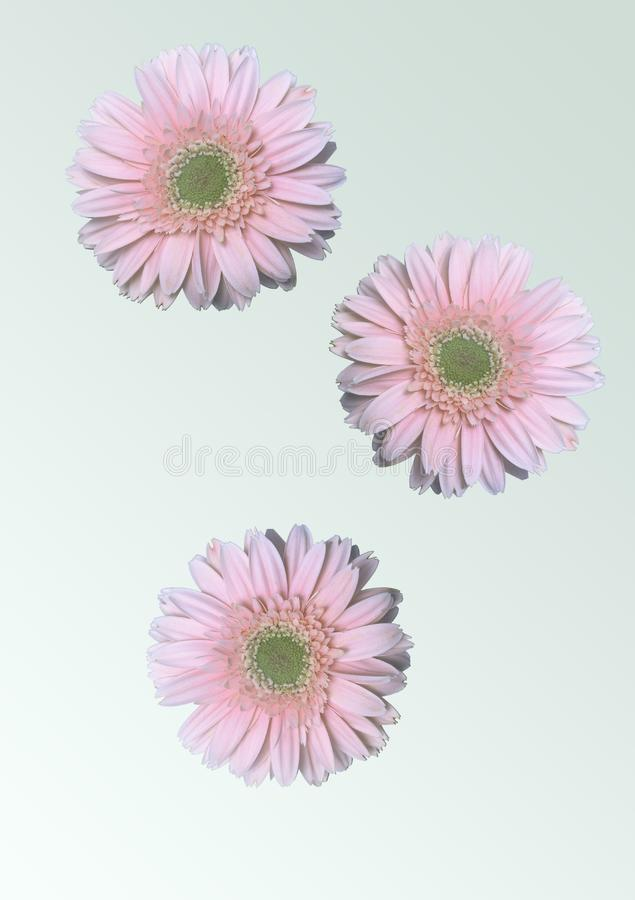 PInk daisy flowers royalty free stock photography