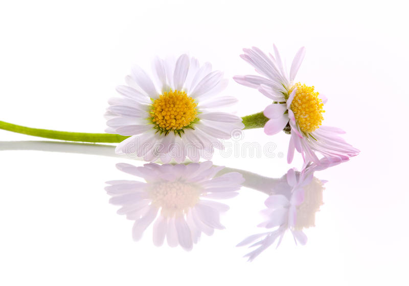 Pink daisy flowers. Two white daisy flowers with soft pink petals stock image
