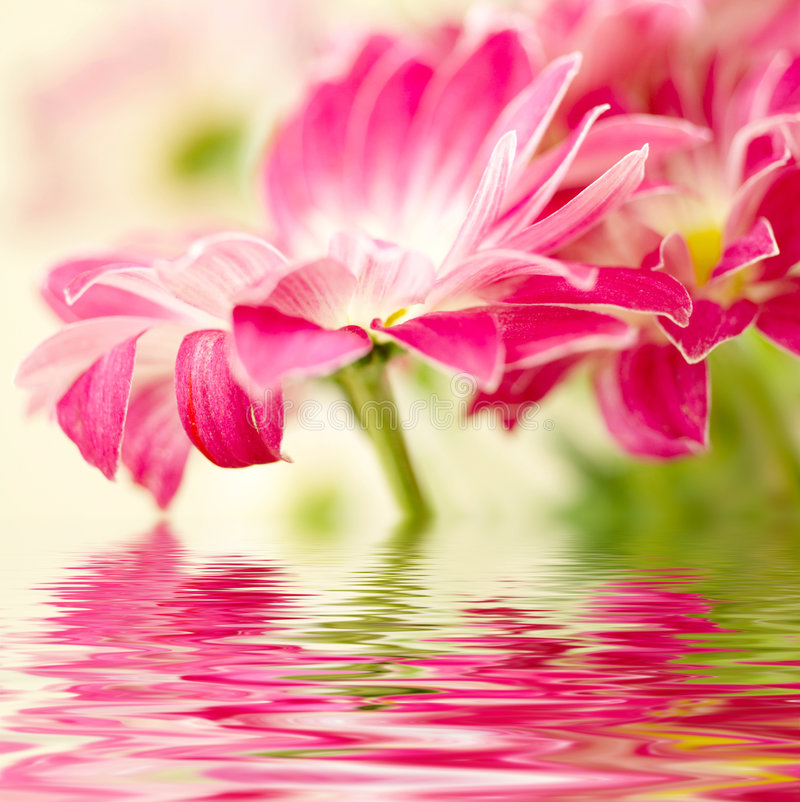 Pink daisy-gerbera royalty free stock image