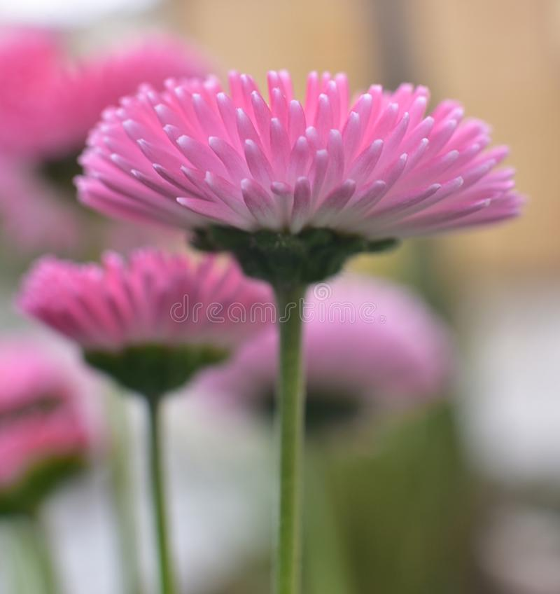 Pink Daisy in spring time royalty free stock photography