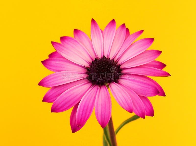 Pink daisy still life stock photography