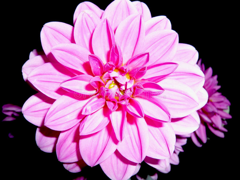 Pink Dalia On Black Background.Beautiful Flower With Lot
