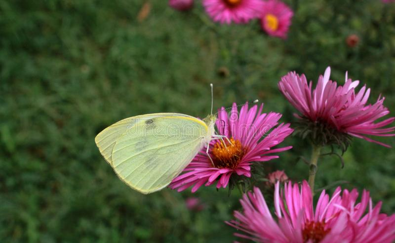 Pink delicate flowers and a pale yellow butterfly on it, stock photography