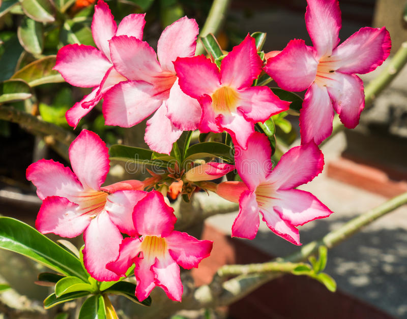Pink Desert Rose, Impala Lily or Mock Azalea with Scientific name as Adenium : One of popular flower for home garden. Pink flower royalty free stock photo