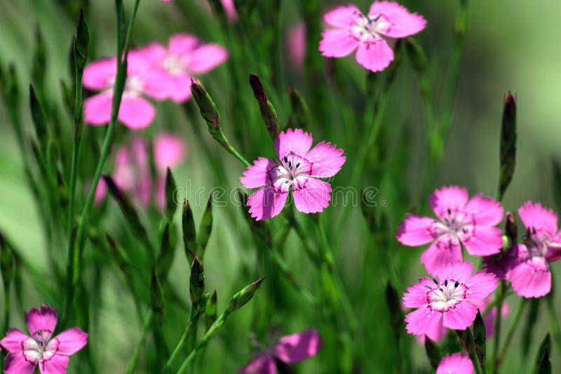 Download Pink Dianthus stock image. Image of plant, herb, botanical - 12562655