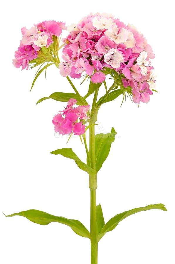 Pink Dianthus barbatus flower. Isolated on white background stock photos