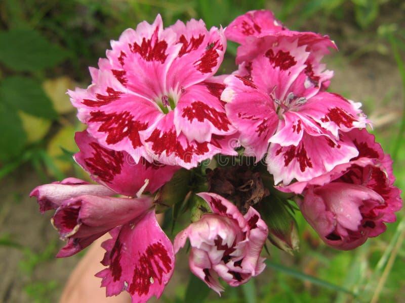 Pink dianthus barbatus. The image of flower pink dianthus barbatus royalty free stock image