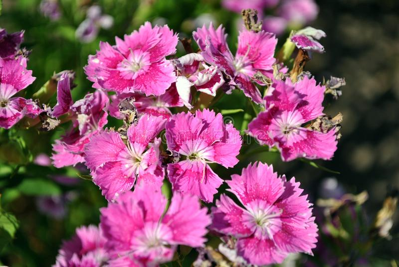 Pink dianthus barbatus Sweet William flowers blooming, top view close up macro detail, green background bokeh. Pink dianthus barbatus Sweet William flowers royalty free stock images