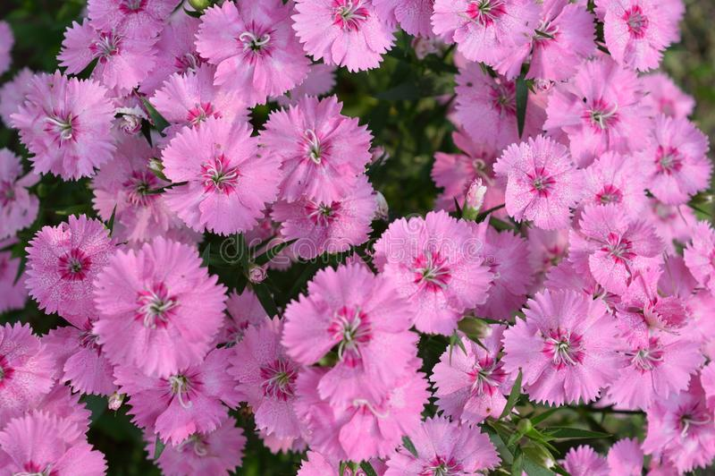 Pink dianthus. These pink dianthus are beautiful. They are bright and cheery royalty free stock photo