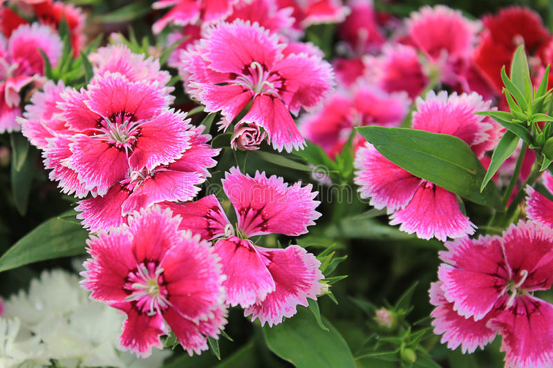 Pink Dianthus royalty free stock images