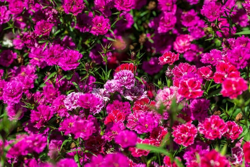 Pink dianthus stock photos