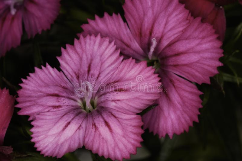 Pink Dianthus dianthus deltoides in bloom. Pink Dianthus dianthus deltoides flower heads in full bloom, close-up macro photograph, Pretoria, South Africa royalty free stock image