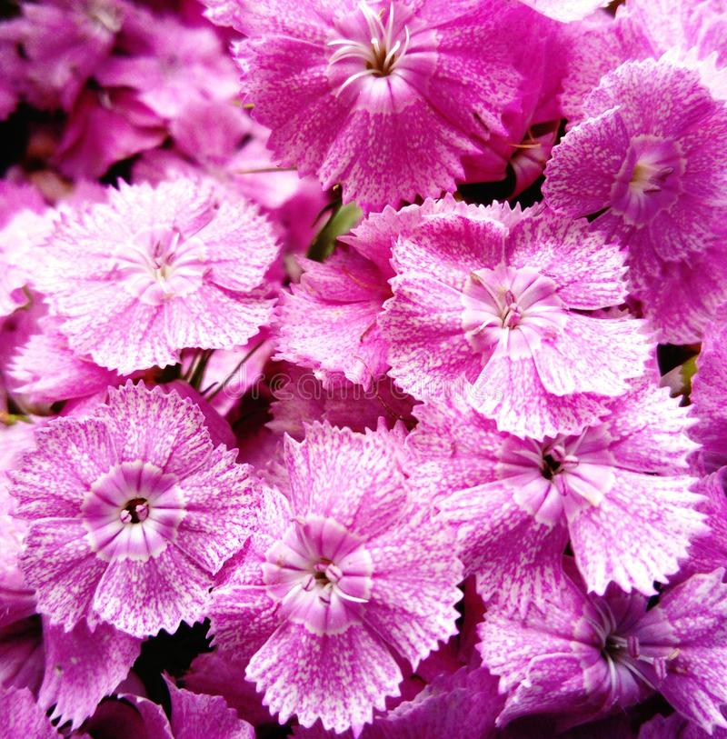 Pink Dianthus flower. Close-up background stock photography